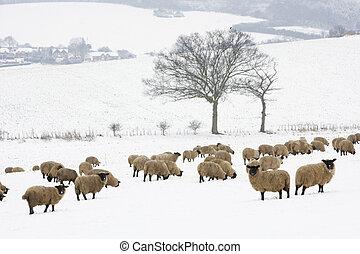 schaap, staand, in, een, sneeuw, gevulde, akker
