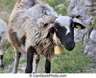 schaap, zwarte-aangevoerde