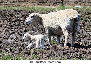 schafe, (ewe, und, lamb)