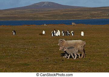 schafe, könig penguins