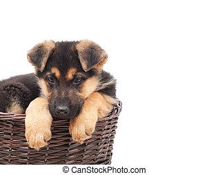 schafhirte, junger hund, in, a, stroh- korb