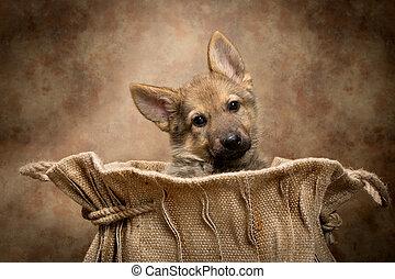 schafhirte, junger hund, in, a, tasche
