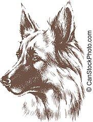 schafhirte, skizze, hund