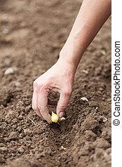schalotte, pflanzen, frauenhände