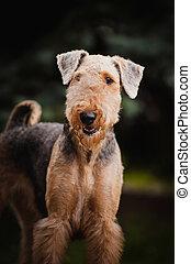 schattig, airedale terrier, verticaal