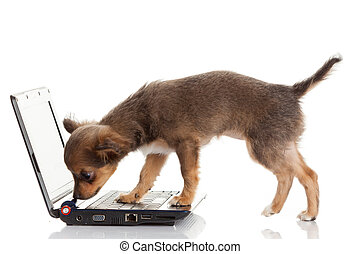 schattig, chihuahua, draagbare computer, dog, achtergrond., voorkant, verticaal, witte