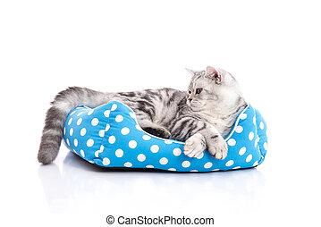 schattig, katje, bed, kat, amerikaan, shorthair, het liggen