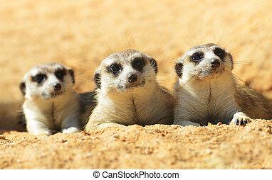 schattig, meerkat, (, suricata suricatta, )