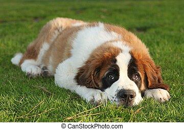 schattig, puppy, bernard, heilige, purebred