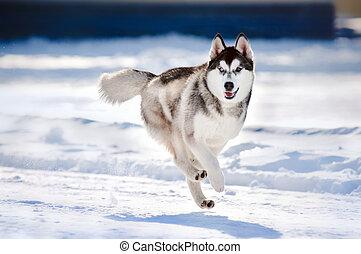 schattig, rennende , winter, hasky, dog