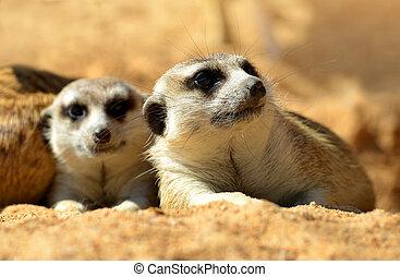 schattig, ), (, suricata suricatta, meerkat