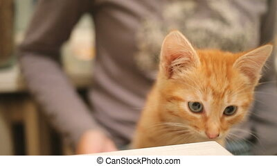 schattig, vrouw, verdwaald, zittende , aanhalen, home., pluizig, katje, gember kat, speels, lap., taken, was, stroking