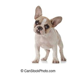 schattige, puppy, met, groot, oor, op het staan
