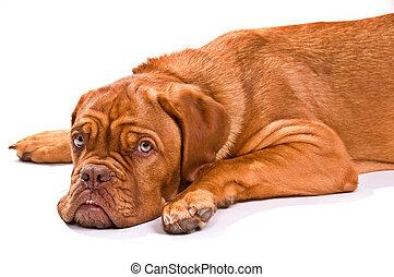 schauen, fotoapperat, junger hund