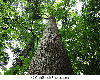 schauen, groß, auf, bäume, wald