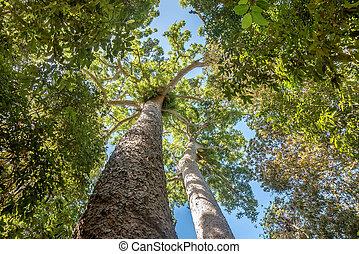 schauen, hoch, an, der, groß, bäume, in, australia
