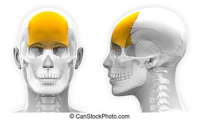 schedel, frontaal, -, vrijstaand, anatomie, vrouwlijk, witte...