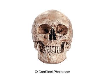 schedel, model