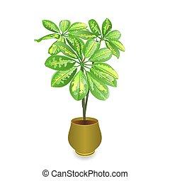 schefflera, 植物, 中に, ポット, vektor.eps