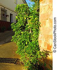Schefflera plant in November sunshine