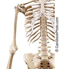 scheletrico, braccio, umano