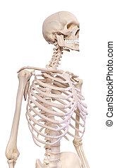 scheletrico, torace