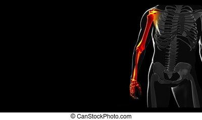 scheletro, camminare, con, vario, ossa
