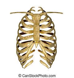 scheletro, di, torace