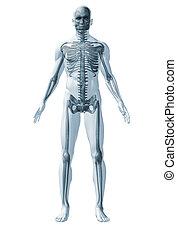 scheletro, umano