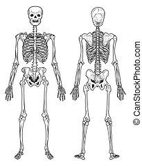 scheletro, umano, fronte, struttura, vista posteriore, ossa