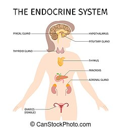 schematico, colorito, vettore, illustrazione, di, femmina, endocrino, sistema
