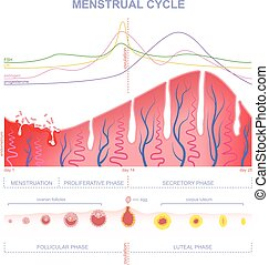 scheme of the menstrual cycle - ovarian cycle phase, level...