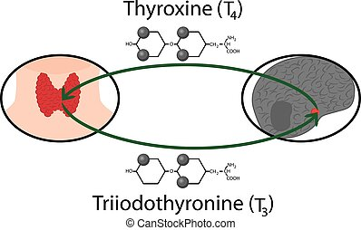 Scheme of Thyroid function. Structural chemical formulas of thyroid hormones vector illustration