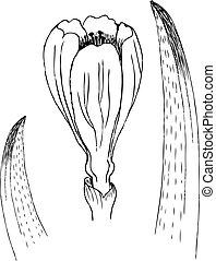 schets, bloem, isolated., lente, bladeren, illustratie, hand, krokus, realistisch, vector, tekening