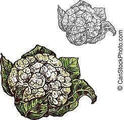 schets, bloemkool, vector, groente, kool, pictogram