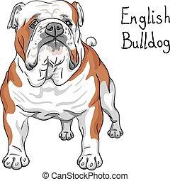 schets, bulldog, ras, dog, vector, engelse
