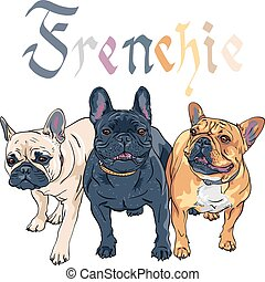 schets, bulldog, ras, huiselijke hond, franse , vector