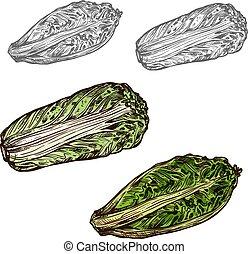 schets, chinees, vector, groente, kool, pictogram