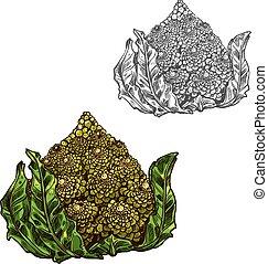 schets, romanesco, vector, groente, kool, pictogram