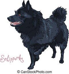 schets, schipperke, kleur, ras, dog, black