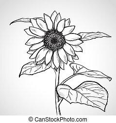 schets, zonnebloem, (helianthus)