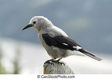 schiaccianoci clark, -, jasper parco nazionale, canada