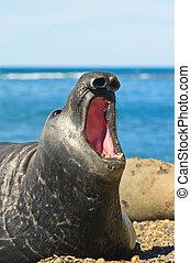 schiereiland, zeehondje, patagonia., valdes, elefant