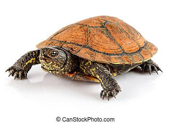 schildpad, aanhalen, dier, vrijstaand, op wit