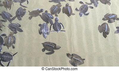 schildpad, hatchery, zwemmen, schildpadden, baby