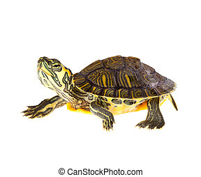 schildpad, op, stoet