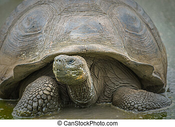 schildpad, reus, galapagos eilanden, ecuador