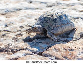 schildpad, steen, oppervlakte, morgen, vroeg, kruipen, ...