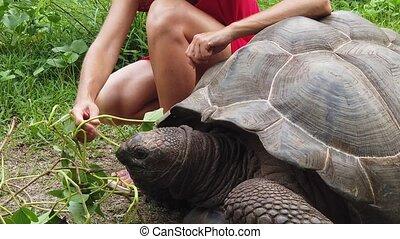 schildpad, vrouw, seychellen
