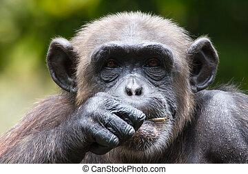schimpanse, gefangenschaft